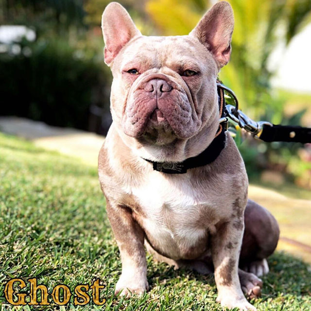 Ghost-French-Bulldog
